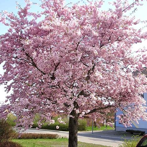 Kleinwüchsige Bäume Für Den Garten sortiment > garten- und alleebäume > kleinwüchsig : baumschule